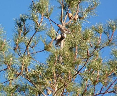 Pinus remorata, Santa Cruz Island Bishop Pine, or Pinus muricata, is a closed-cone pine.  - grid24_12