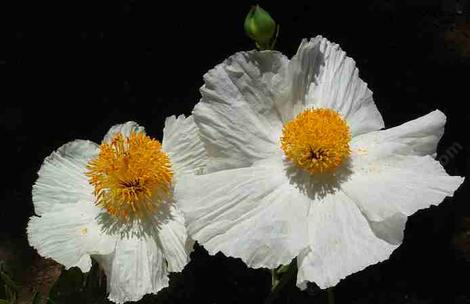 Romneya coulteri flowers. - grid24_12