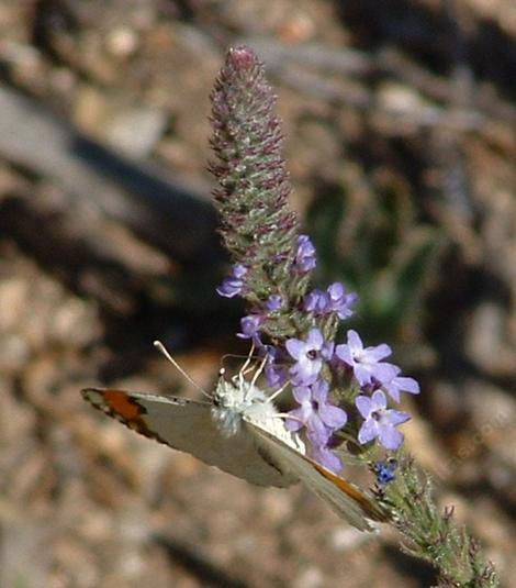 Sara's Orange Tip butterfly on a native verbena, side view - grid24_12
