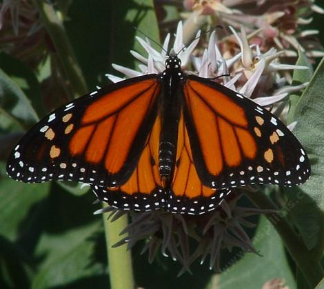 Monarch Butterfly, Danaus plexippus  on a Showy Milkweed flower - grid24_12