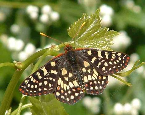 Common Checkerspot Butterfly resting on grape leaf - grid24_12