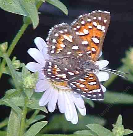 Apodemia mormo virgulti; Behr's Metalmark  on an Aster chilensis - grid24_12