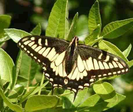 Anise Swallowtail (Papilio zelicaon) resting on a Ptelea - grid24_12