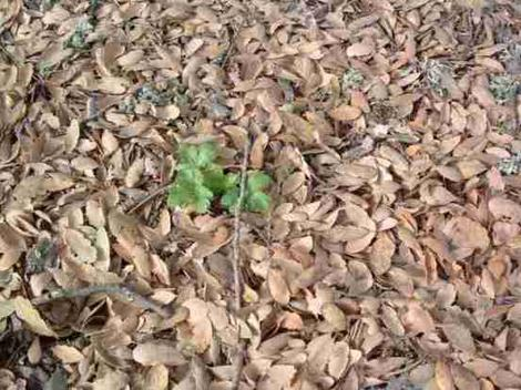 Healthy litter under a Blue Oak, Quercus Douglasii. It took decades to get this litter layer weed free and allow it to build up. The soil became light and soft. - grid24_12