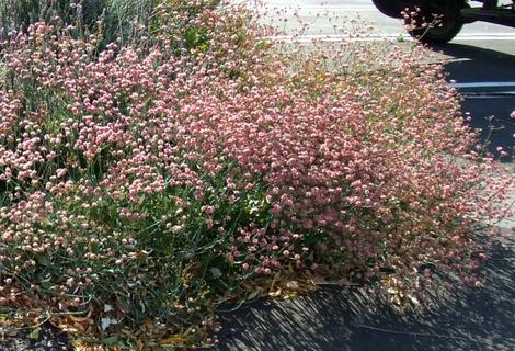 Rosy or Red Buckwheat, Eriogonum grande rubescens, used on the edge of a parking lot in San Luis Obispo. - grid24_12