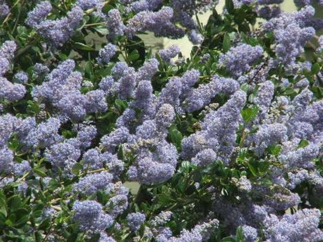 Remote Blue Ceanothus has sky blue flowers(yes the sky looks like that) - grid24_12