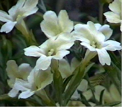 This monkey flower, Diplacus longiflorus, is native in the Santa Margarita area - grid24_12