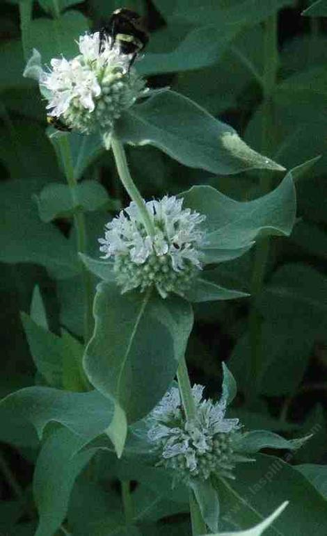 Pycnanthemum californicum Mountain Mint