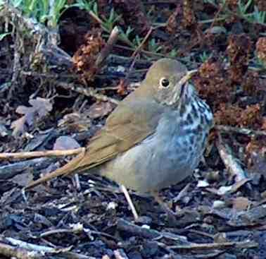 Hermit the thrush - grid24_12