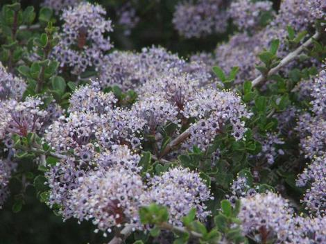 Don't you wish you were a bee or a butterfly? The Sierra Buckbrush is wonderful. - grid24_12