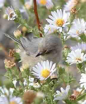 One of our little Bushtits looking for aphids on a California Aster. - grid24_12
