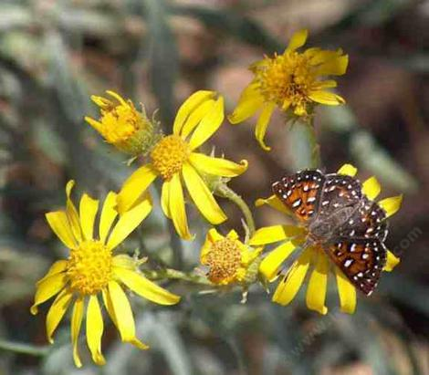 Apodemia mormo virgulti,  Behr's Metalmark  on Butterweed - grid24_12