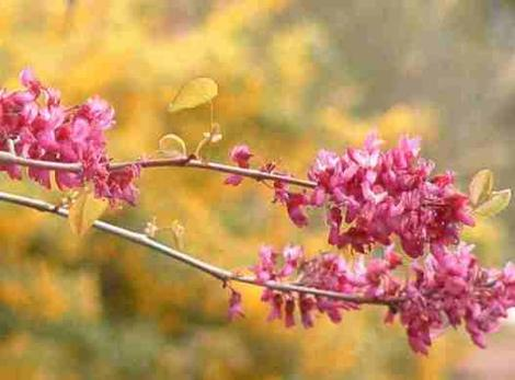 California redbud with Golden currant behind it. Both are native plants. - grid24_12