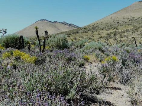 Salvia dorrii, Desert sage, with Yucca brevifolia along the edge of the  Mojave desert. - grid24_12