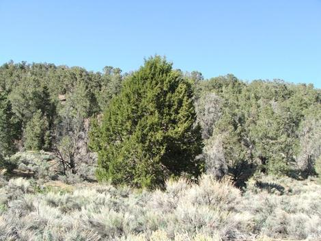 This young Juniperus occidentalis tree is along the eastern side of the sierras right where the Pinus monophylla peters out before the Joshua trees. - grid24_12