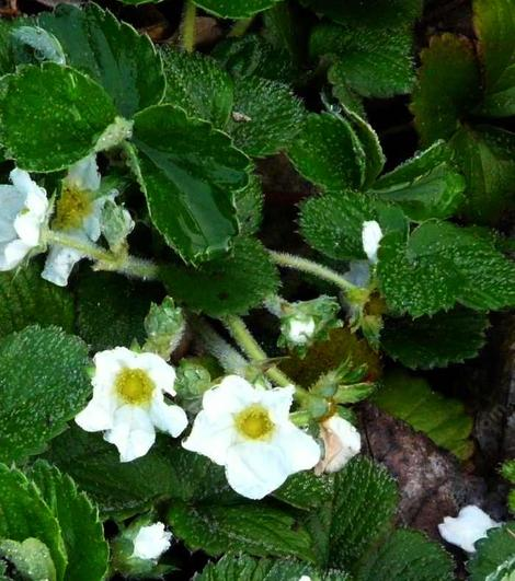 Fragaria chiloensis Sand Strawberry flowers