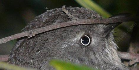 A Wrentit watching the camera. These little birds are pint sized punksters. - grid24_12