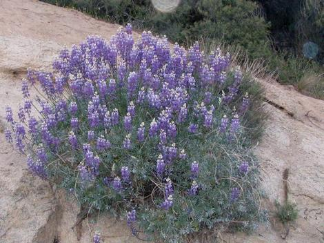 Grape Soda Lupine, Lupinus excubitus, in flower in the wild at about 5000 feet in the Southern Sierras. - grid24_12
