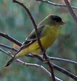 a Lesser Goldfinch on branch - grid24_12