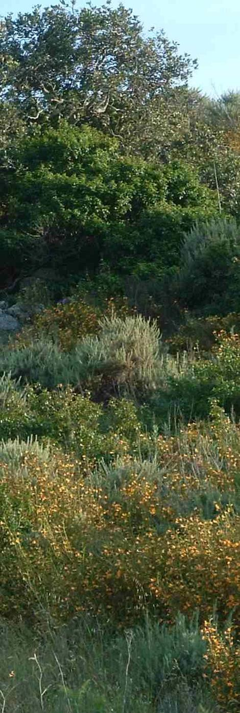 Coastal sage Scrub south of San Luis Obispo with Sticky Monkey flower, California Sage Brush, Coast Live Oak, and Poison Oak. - grid24_12