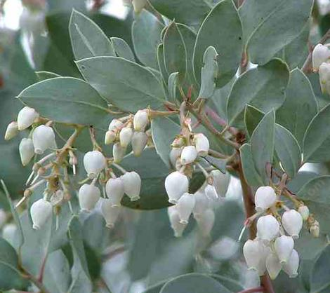 The flowers of Arctostaphylos Margarita Pearl