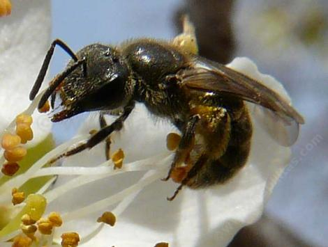 Andrena bee pollinating an Asian Pear, Pyrus serotina - grid24_12