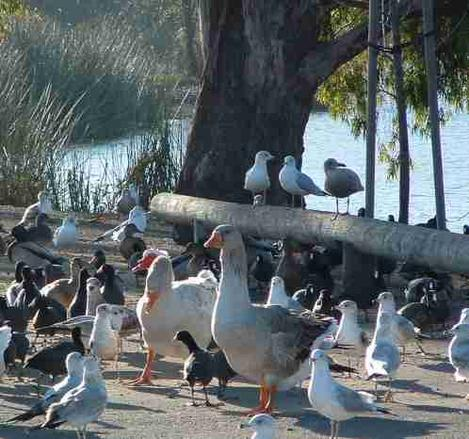 Water fowl at Laguna Lake in San Luis Obispo. - grid24_12
