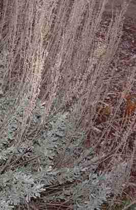 Artemesia tridentata, Great basin sage. - grid24_12