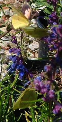 Trichostema lanatum,  Woolly Blue Curls with three California Dog-face Butterflies, Zerene eurydice - grid24_12