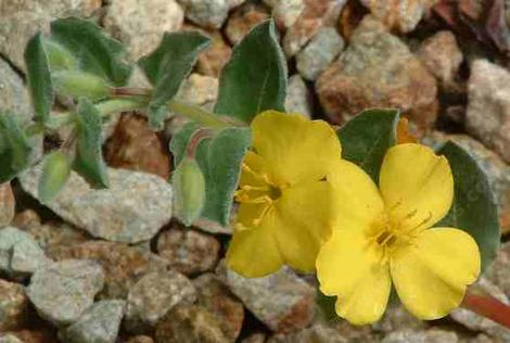 Oenothera cheiranthifolia suffruticosa Beach Evening Primrose
