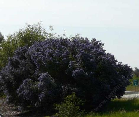 Ray Hartman Ceanothus in full bloom. These plants were 12-15 foot tall and 15 foot wide. with no water in Atascadero. A Great big hedge. - grid24_12