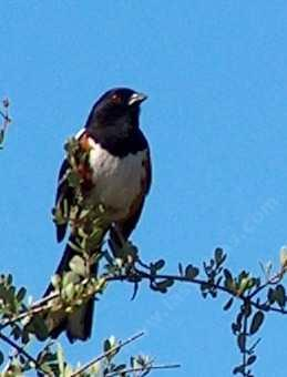 A Spotted Towhee in the morning sun. You will not find these birds in bright sunlight. - grid24_12
