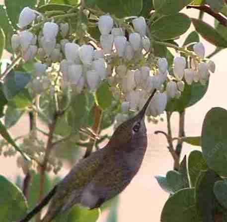 An Anna Hummingbird on a Austin Griffin manzanita picture. - grid24_12