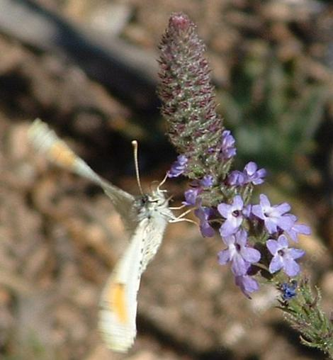 Sara's Orange Tip butterfly on a native verbena. - grid24_12