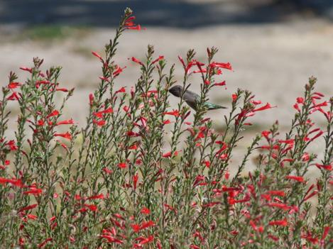 California fuchsia is also known as Epilobium canum mexicanum or Zauschneria californica mexicana flowers with hummingbird. - grid24_12