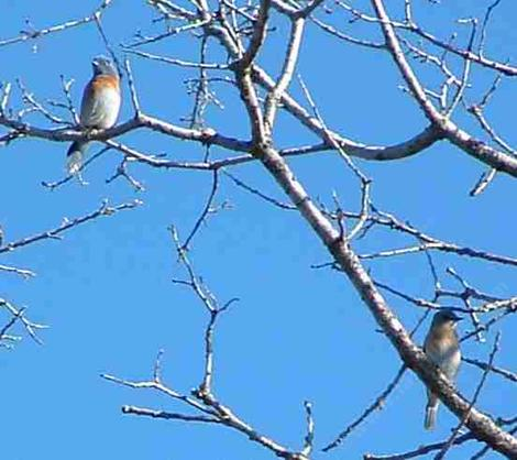 Western Bluebirds up in a Valley Oak Tree. - grid24_12