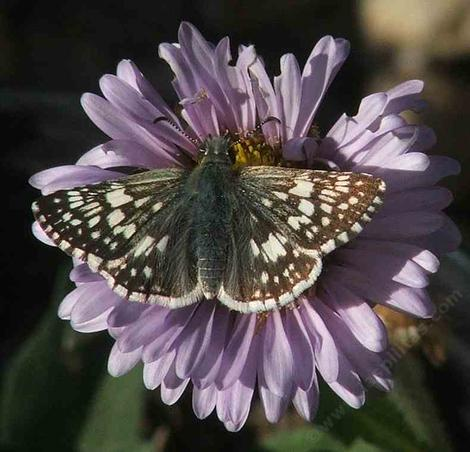 Common checkered skipper on a Seaside Daisy - grid24_12