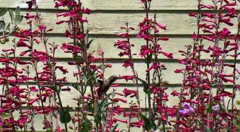 Penstemon pseudospectabilis been visited by an Anna Hummingbird - grid24_12