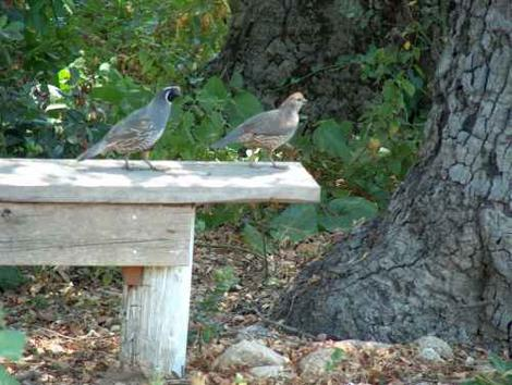 Male and female quail on garden bench. Something a simple as a raised seat or bench can provide a high spot for the quail. - grid24_12