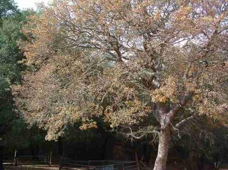 A Blue Oak Tree - grid24_12