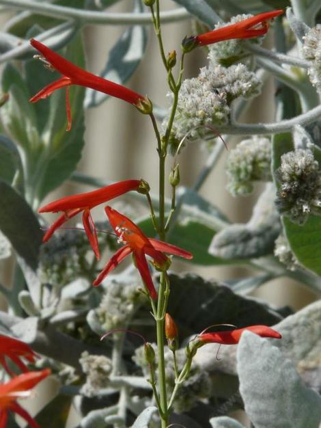 Penstemon labrosus, Scarlet Penstemon with Woolly Yerba Santa