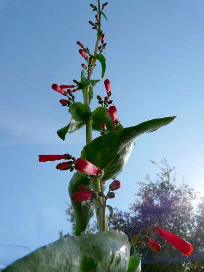 A lizards eye view of  Penstemon eatonii, Firecracker Penstemon - grid24_12