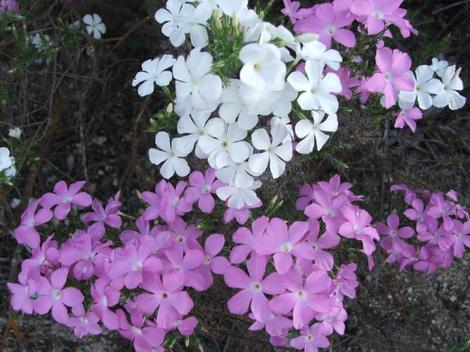Here are two flower-color variants of Leptodactylon californicum, Prickly Phlox, that grow together in the central California chaparral. - grid24_12