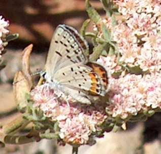 Acmon Blue Butterfly, Icaricia acmon on California  Buckwheat - grid24_12