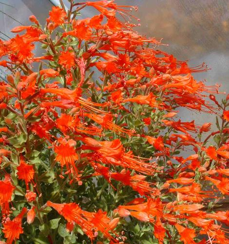 California fuchsia works well in California gardens from San Francisco, Los Angeles, San Diego and into Fresno. - grid24_12