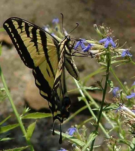 Western Tiger Swallowtail Butterfly,Papilio rutulus working flowers of  Lobelia dunnii - grid24_12