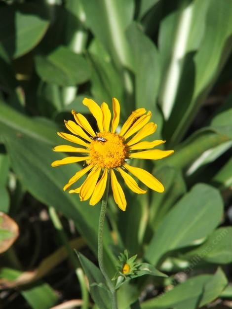 Helenium hoopesii, Owlsclaws, is a showy mountain perennial with large yellow flowers.