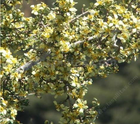 There are so many flowers on this Purshia stansburiana, Cliff Rose, that you can barely see the leaves.  - grid24_12