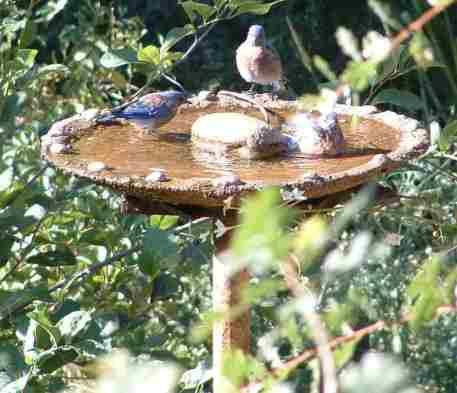 Western Bluebirds At The Birdbath In Our Native Garden. The Chokeberry  Behind Them Is One