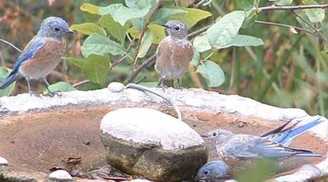Western Bluebirds at the birdbath - grid24_12